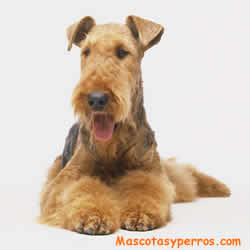 fotos Airedale Terrier