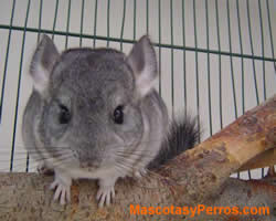 fotos de chinchillas