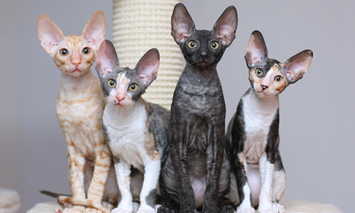 fotos gatos cornish rex