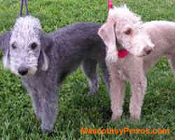 fotos Bedlington terrier