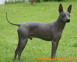 perros american hairless terrier