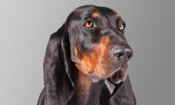 Perros Black and Tan Coonhound