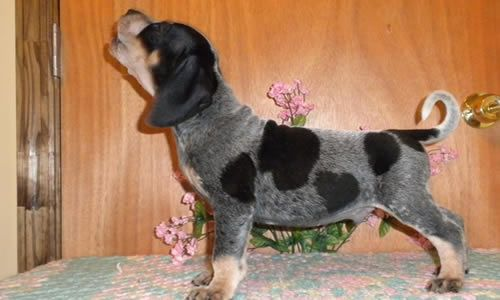 fotos bluetick coonhound perros