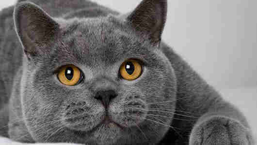 fotos gatos british shorthair