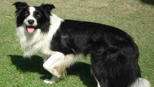 fotos perros Border Collie