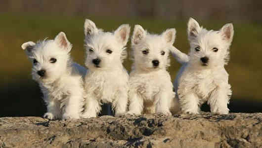 fotos perros west highland whiteterrier