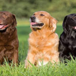 Labradores Retriever