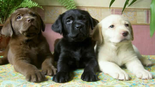 fotos perros labradores retriever