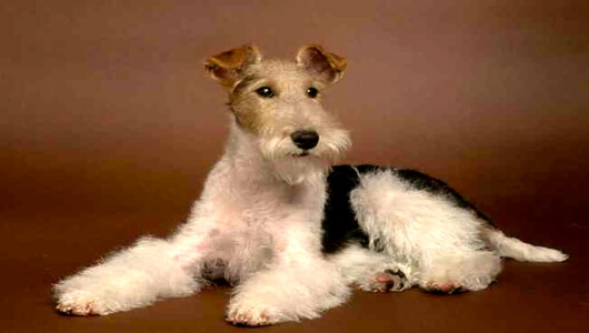 fotos perros fox terrier